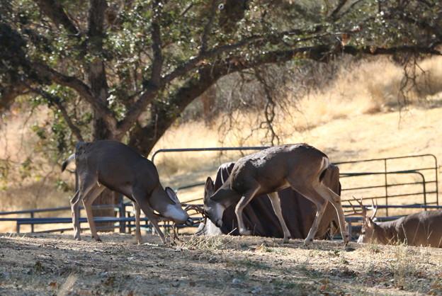 Muleの角突き (5)