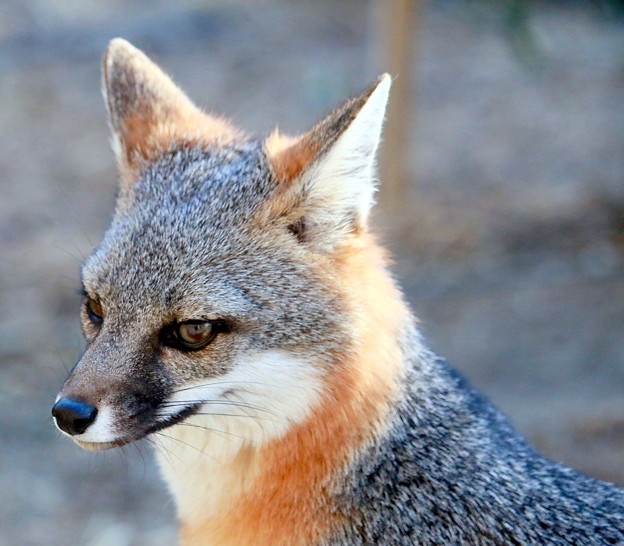 Photos: Gray Fox (5)