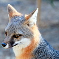 Photos: Gray Fox (5)