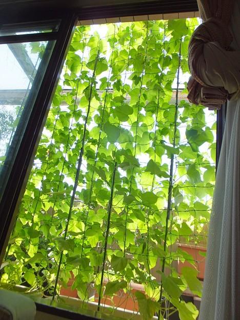 この日陰が涼やか~緑のカーテン