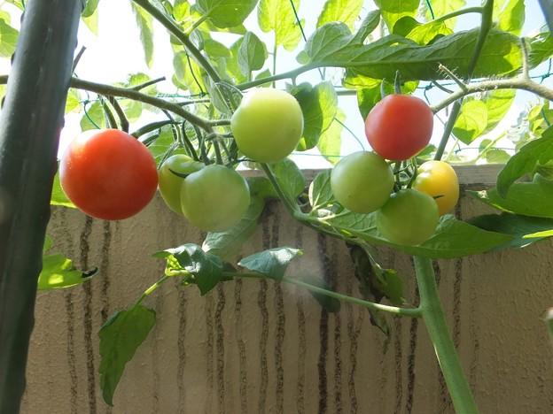 トマトの一房は家族