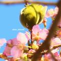 至福花メジロ