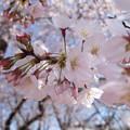 写真: 蕾と咲いた桜