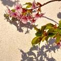 明暗 河津桜