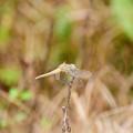 写真: ウスバキトンボ2