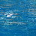 Photos: ハシナガイルカの赤ちゃんジャ~ンプ