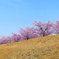 倉敷川沿いの河津桜