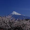 Photos: 岩本山の梅と富士山
