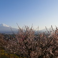 Photos: 宗清寺の梅と富士山