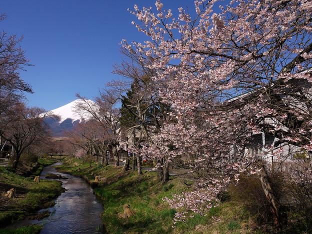 富士山と桜@忍野