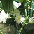 Photos: ストロベリーグァバの花