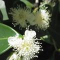 写真: ストロベリーグァバの花