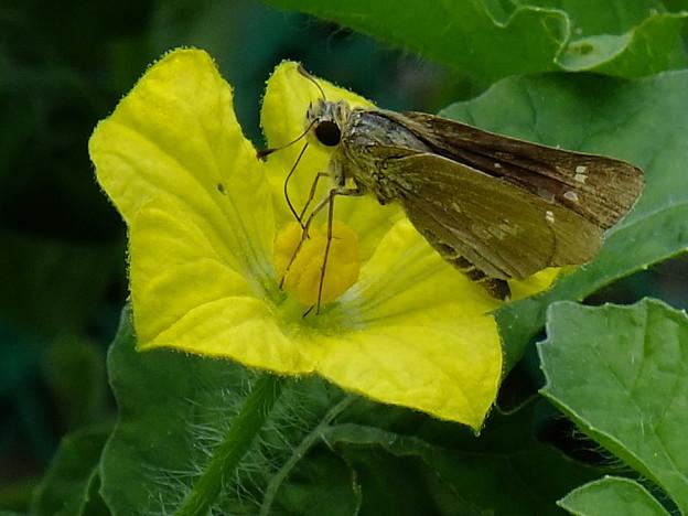 西瓜の花とセセリ蝶
