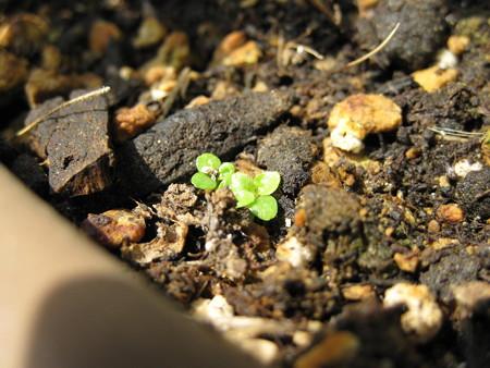 こぼれ種から発芽 ロベリア?