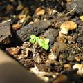 写真: こぼれ種から発芽 ロベリア?