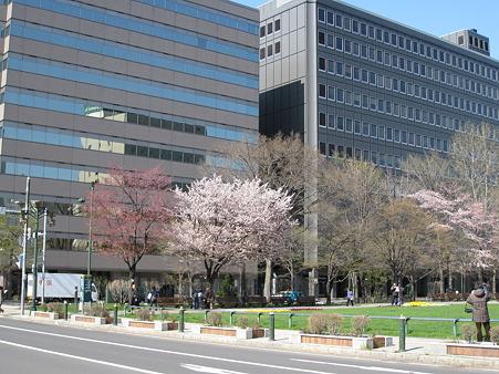 少しずつ開花してきた桜