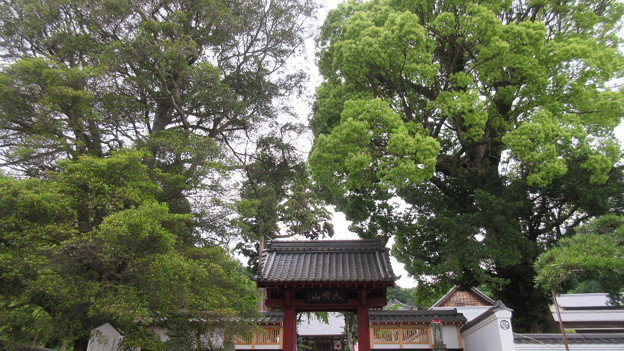 西明寺(豊川市)モッコク・マキ