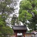 写真: 西明寺(豊川市)モッコク・マキ