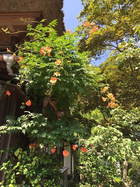 16.07.19.海蔵寺(鎌倉市)のうぜんかずら
