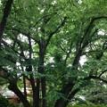 Photos: 大宮八幡宮(杉並区)菩提樹