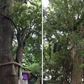 Photos: 大宮八幡宮(杉並区)共生の木