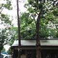 Photos: 大宮八幡宮(杉並区)源義家お手植松跡