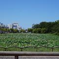 Photos: 秋田 千秋公園 蓮の花がいっぱい咲いてる