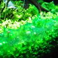 写真: 藍藻