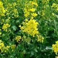 写真: 菜の花