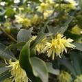 写真: 樒の花