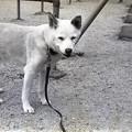 老犬の散歩