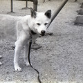 写真: 老犬の散歩