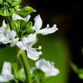 写真: バジルの花