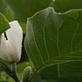写真: 梅雨空に咲くハクモクレン