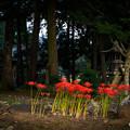 Photos: 荘厳な雰囲気漂う神社に咲く彼岸花。