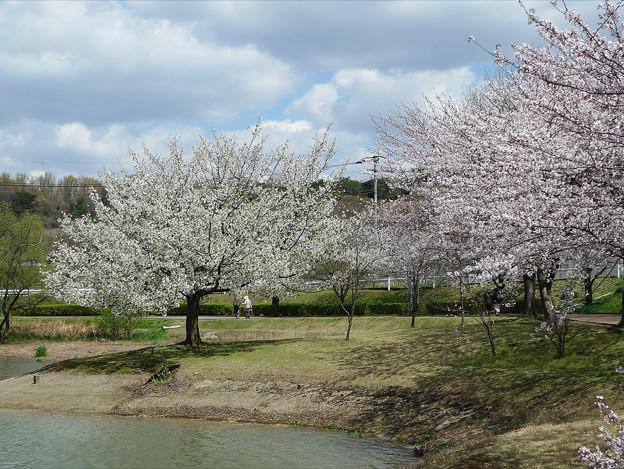 駕与丁公園の桜(3)