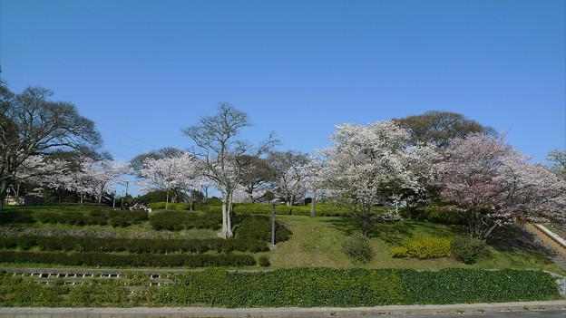 めかり公園の桜(7)