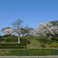 Photos: めかり公園の桜(7)
