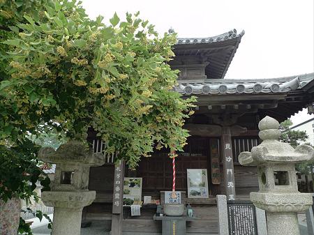 恵光院の菩提樹(2)