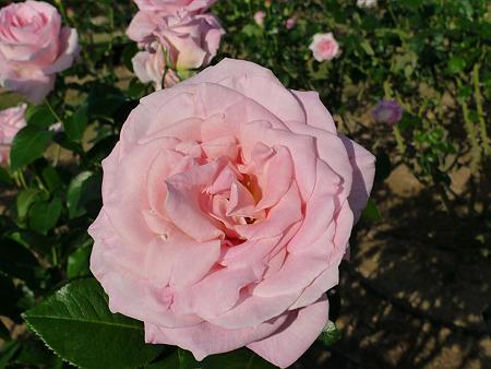 うみなか(9)バラ。キャリオカ