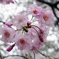 小倉城・勝山公園の桜(8)