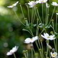 Photos: Anemone hupehensis