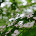 ヤマボウシ(花)