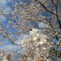 Photos: 桜 2016 超広角2