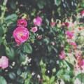 写真: バラ園