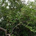 Photos: グミの木