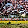 河津桜と103系電車