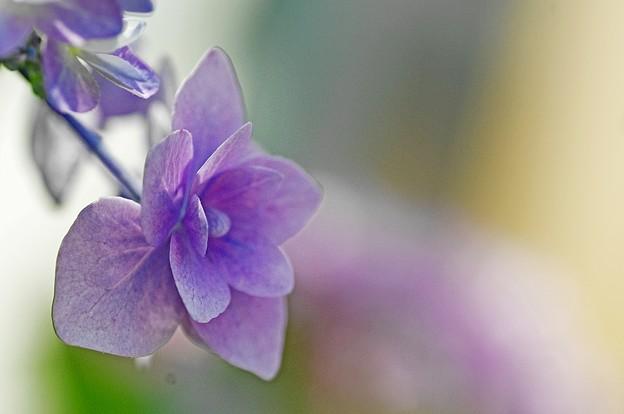 紫陽花ひとつ