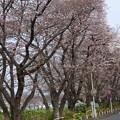 写真: 桜01