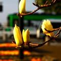 写真: ~路面電車と木蓮と陽の光と・・~